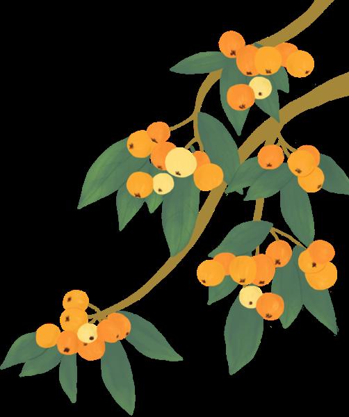 枇杷水果果实季节手绘贴纸素材