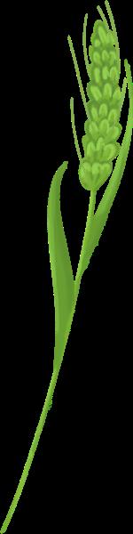 小麦麦子麦穗植物绿植