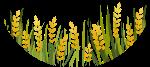 农作物麦子麦穗小麦稻谷
