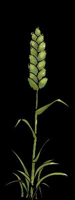 小麦麦穗麦子植物农作物