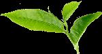 植物叶子绿叶绿植茶叶