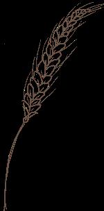 麦穗植物农作物小麦手绘