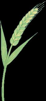 麦子麦穗植物绿植农作物