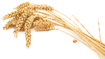 植物麦穗小麦农作物装饰