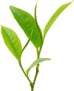 叶子茶叶嫩叶植物手绘