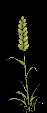 小麦麦子麦穗植物装饰