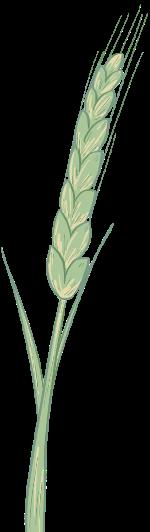 小麦麦穗手绘农业丰收