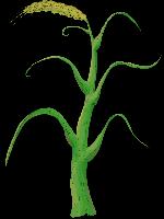 树树木绿树植物小麦