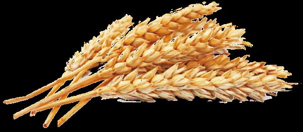 麦穗植物麦子小麦农产品