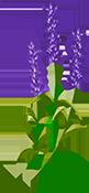 花花朵植物绿叶薰衣草