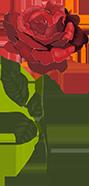 花花朵花卉植物玫瑰
