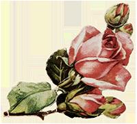 花玫瑰花情人节爱情浪漫