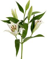 百合百合花花花卉植物