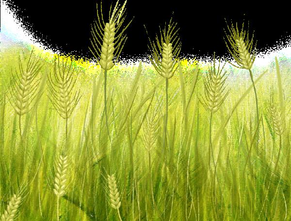 麦穗粮食植物氧气绿植