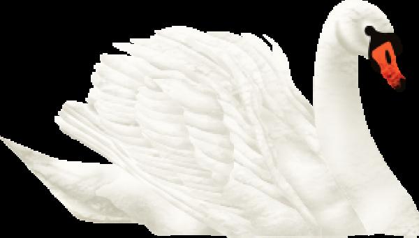天鵝白天鵝動物禽類家禽