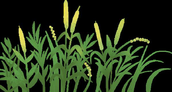 植物麦穗麦子小麦绿植