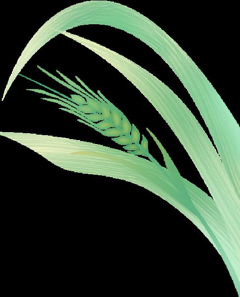 麦芽麦穗植物绿叶叶子