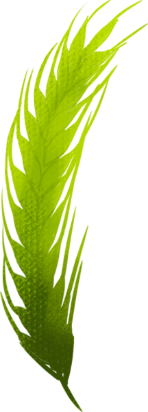 麦穗粮食养护植物绿植