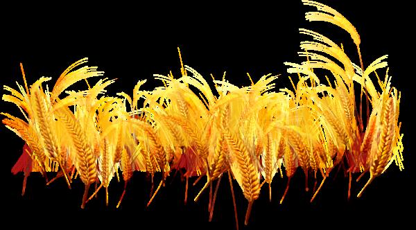 麦穗小麦麦子农作物庄稼