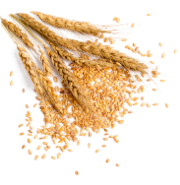 麦子小麦麦穗农作物庄稼